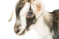 Baby goat head. On a white background Royalty Free Stock Photography