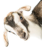 Baby goat head. On a white background Stock Image