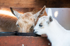 Baby goat with his mother Stock Photography