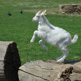 Baby Goat jumping. White baby goat jumping on a log against the green grass stock image