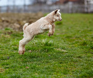 Baby goat jumping stock photo