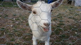 Baby Goat, Kid behind a mesh fence. Adorable Baby Goat, Kid behind a mesh fence stock photography