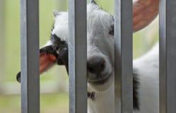 Baby Goat Kid Stock Photos