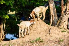 Baby Goat kidding. In the farm Stock Photos