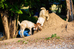 Baby Goat kidding. In the farm Royalty Free Stock Image