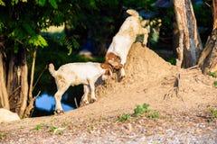 Baby Goat kidding. In the farm Stock Photo