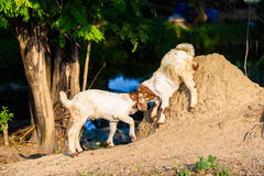Baby Goat kidding. In the farm Stock Images