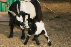 Baby goat kissing her mother Stock Photo