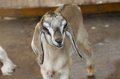 A baby goat lamb animal Royalty Free Stock Photos