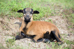 Baby goat. Is lieing on meadow Royalty Free Stock Images