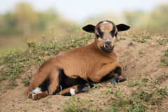 Baby goat. Is lieing on meadow Stock Images