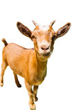 Baby goat. Little brown baby goat portrait isolated on white background royalty free stock photos