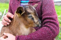 Baby goat. Stock Image