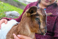 Baby goat. Stock Images