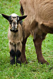 Baby goat Stock Images