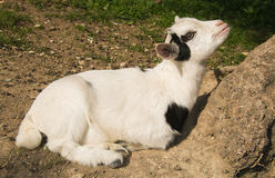 Baby goat looking up Stock Image
