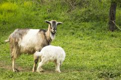 Baby goat and mama goat in the field Royalty Free Stock Photo