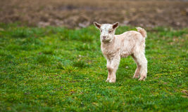 Baby goat on a meadow with copyspace Royalty Free Stock Images