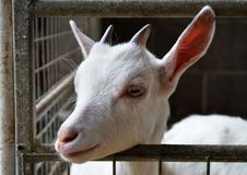 Baby goat in a metal enclosure Royalty Free Stock Photos