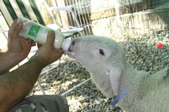 Baby goat with a milk bottle. Stock Photos