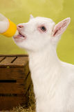 Baby goat with milk bottle Stock Photo
