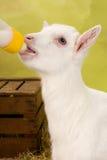 Baby goat with milk bottle stock photo