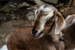 Mowing baby goat close up royalty free stock photo