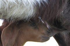 Baby goat nursing Royalty Free Stock Photo