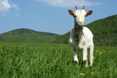 Baby goat in pasture Royalty Free Stock Image