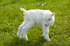 Baby goat in pasture Stock Photos