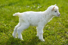 Baby goat in pasture Royalty Free Stock Photography