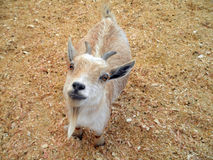 Baby Goat at Petting Zoo. Baby billy Goat with horns and a goatee looks up at the camera Petting Zoo Stock Images