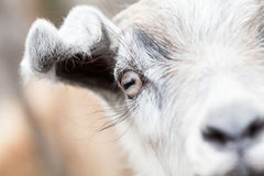 Baby goat portrait Royalty Free Stock Images