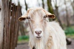 Baby goat portrait Stock Photography