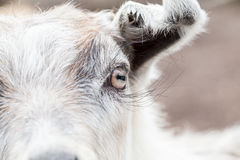 Baby goat portrait Royalty Free Stock Photography