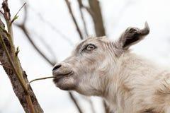 Baby goat portrait Royalty Free Stock Photo