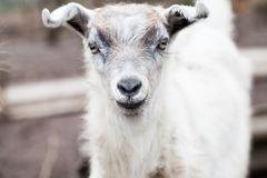 Baby goat portrait Stock Photography