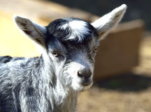 Baby Goat portrait Stock Photo