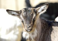 Baby Goat portrait Stock Images
