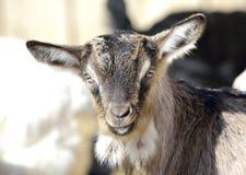 Baby Goat portrait Stock Images