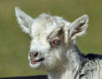 Baby Goat portrait Royalty Free Stock Image