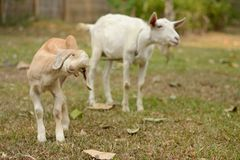 Baby Goat. Portrait of baby goat with moma goat Stock Photo