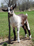 Baby goat resting Royalty Free Stock Photo
