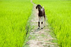 Baby goat at rice field. South India Royalty Free Stock Images