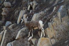 Baby Goat Rock Climbing Royalty Free Stock Photo