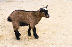 Baby goat. On a sandy ground Royalty Free Stock Photo