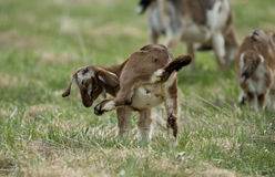 Baby Goat Scratch Stock Images