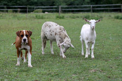 Baby goat with a sheep and a bulldog Royalty Free Stock Image
