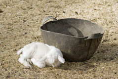 Baby Goat Sleeping Stock Photography