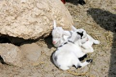 Baby goat sleeping. New born baby goats sleeping at a traditional farm Stock Photography